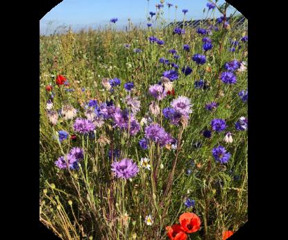 Vandsams grund blomstrer til gavn for insekter og bier